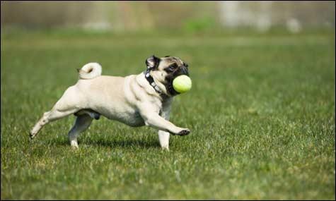 ¿Cuánto ejercicio debe hacer su perro?