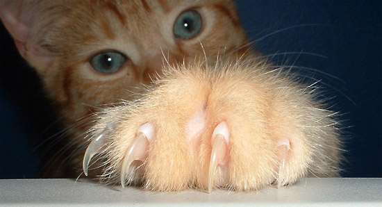 7 hechos sobre la declamación de tu gato