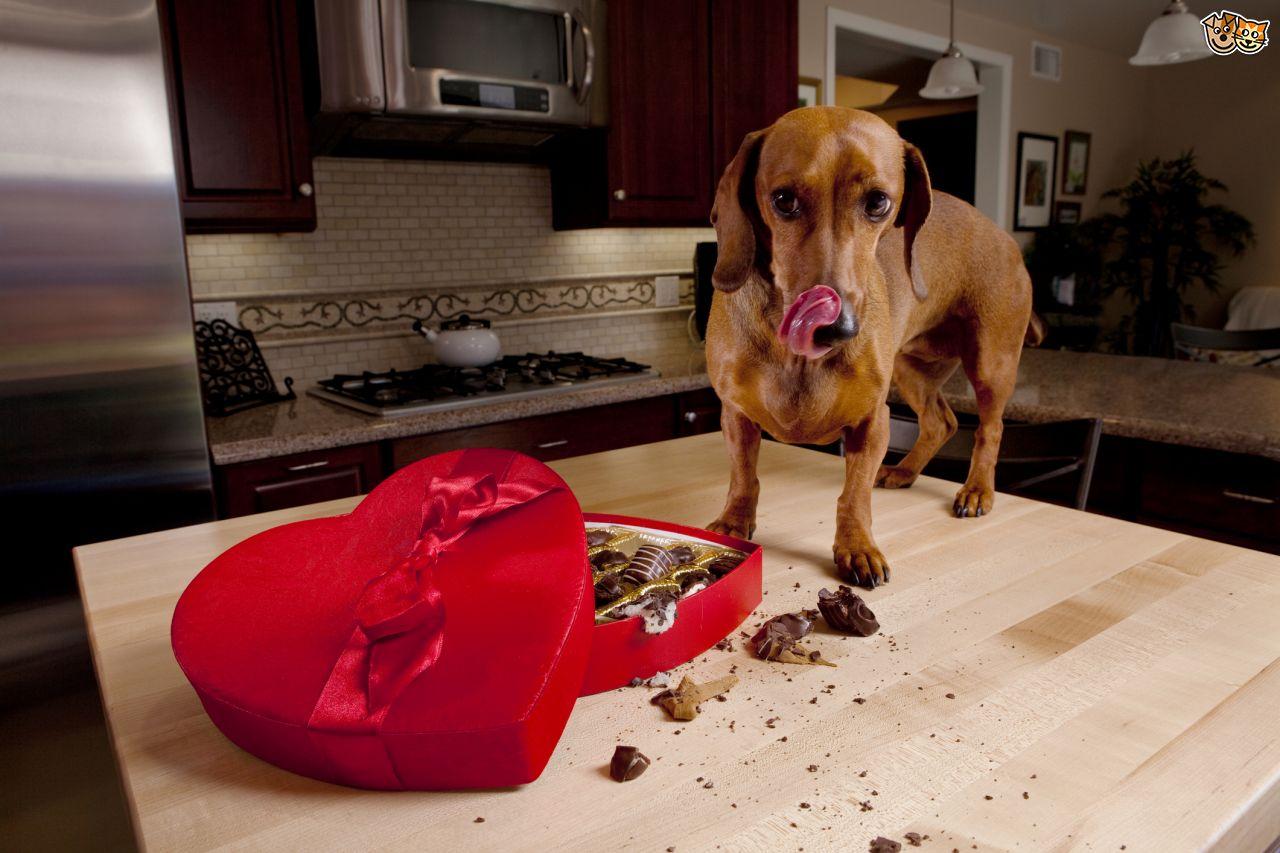 Alimentos peligrosos que su perro nunca debe comer