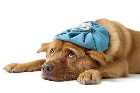 Gripe canina: consejos para proteger a su perro de enfermedades