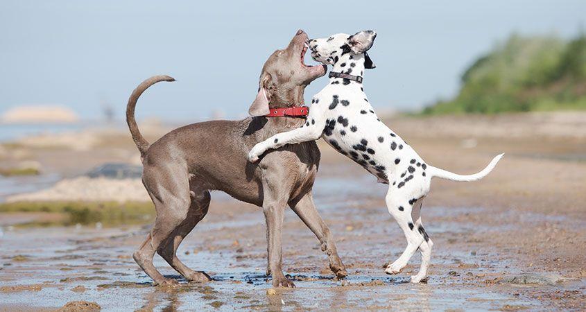 La forma segura de acabar con una pelea de perros