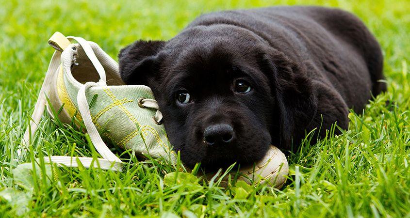 Por qué a los perros les encanta masticar tus preciadas posesiones