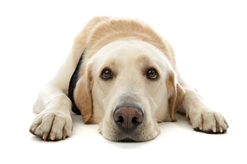 Qué hacer y qué no hacer al hacer contacto visual con los perros