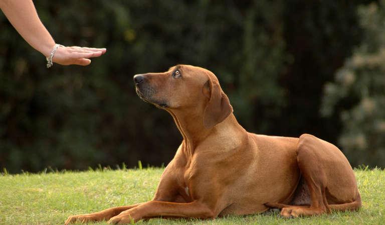 Reglas básicas del entrenamiento de obediencia canina