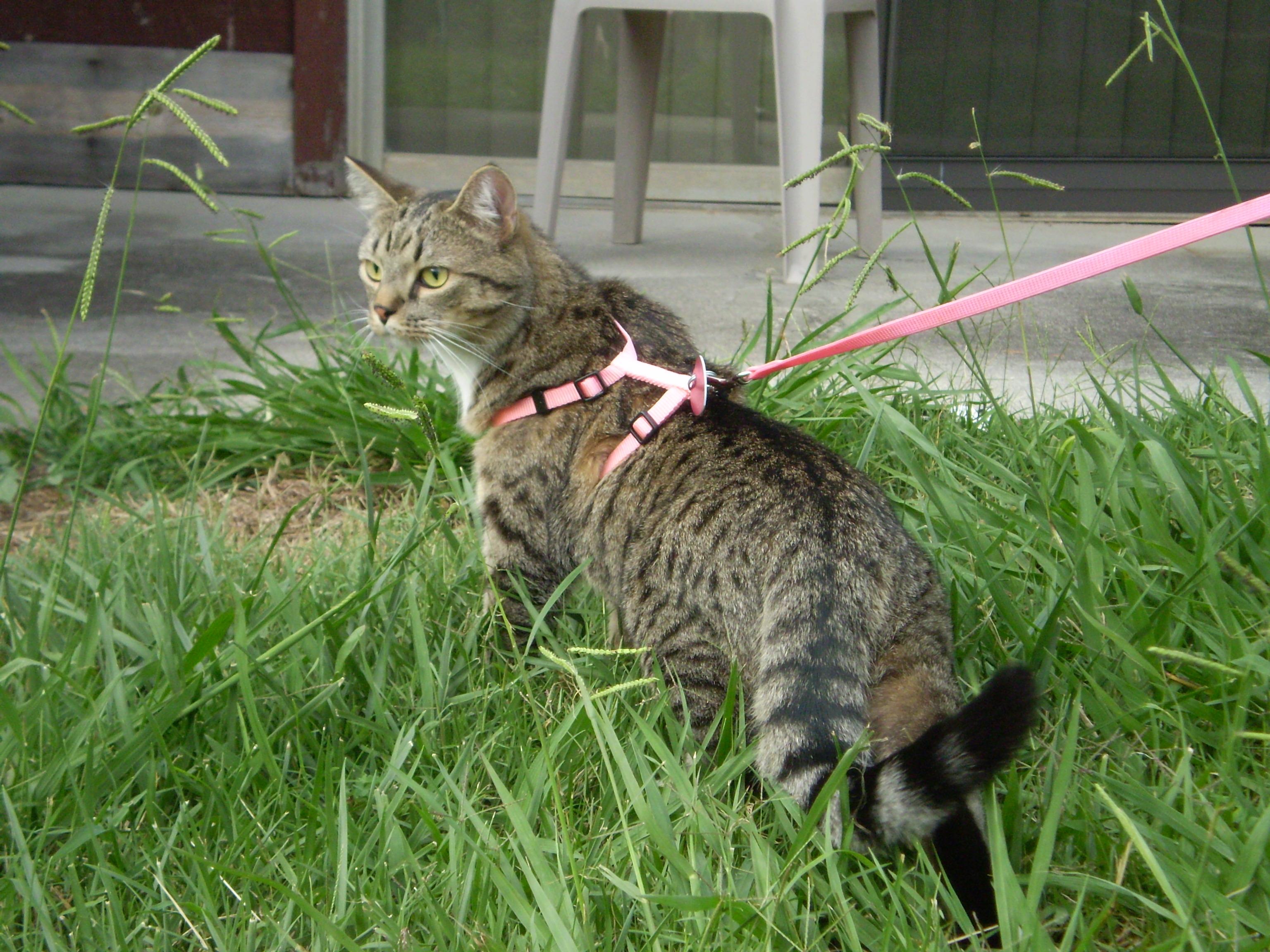 Resulta que puedes sacar a pasear a tu gato