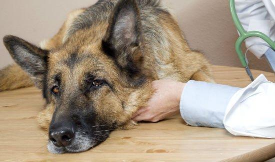 Señales de que su perro está atravesando una crisis de Addison