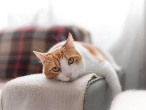 Porque le cuelga la barriga a mi gato?