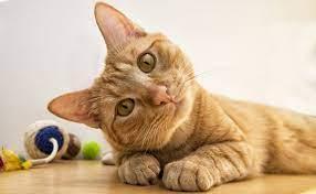 Como presentarle a un gato un nuevo hogar