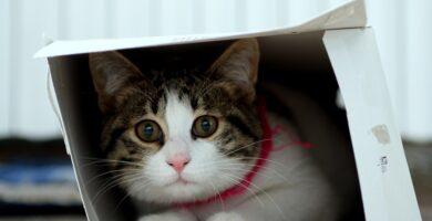 Por que le gustan las cajas a los gatos