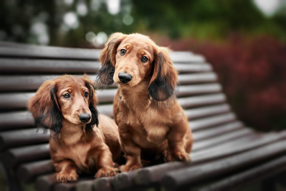 ¿Por qué los perros se quedan juntos después del apareamiento?