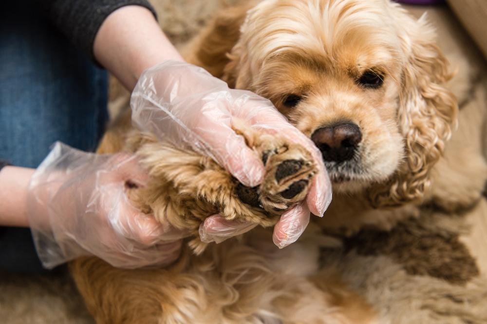 Tratamiento de tenia para perros: guía increíble sobre tenias caninas