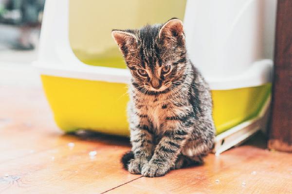 Un gatito atigrado que parece avergonzado fuera de la caja de arena.