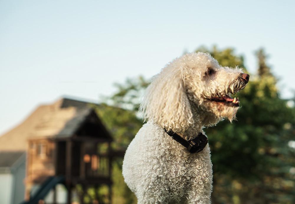 Collar de choque para perros: una guía detallada sobre el collar de caninos
