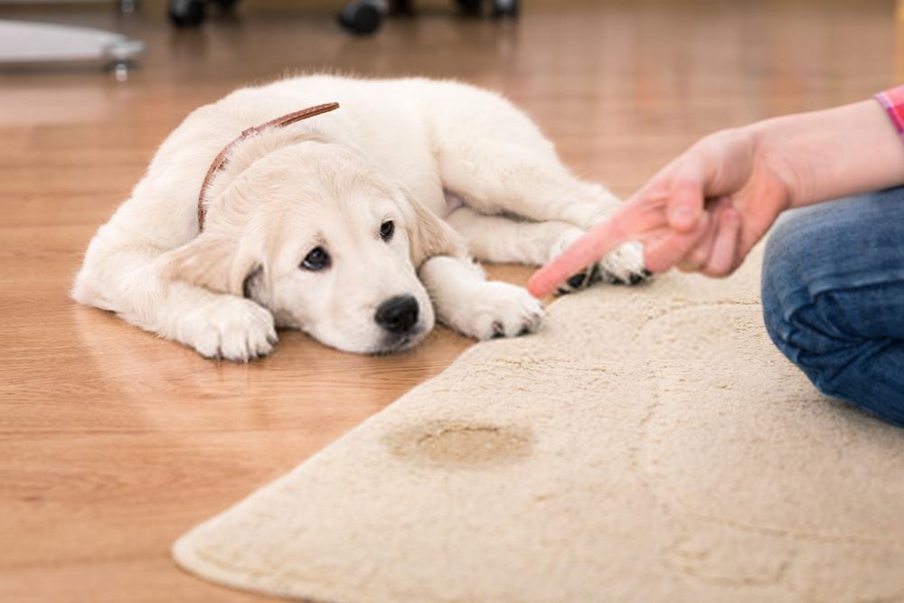 Cómo crear un adiestramiento de cachorros: una guía increíble sobre acciones de adiestramiento de perros