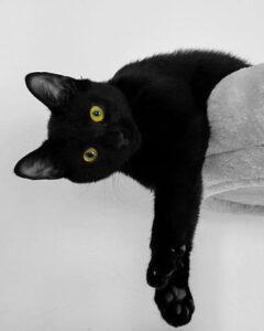 Gato bombay: caracteristicas, cuidados y estilo de vida