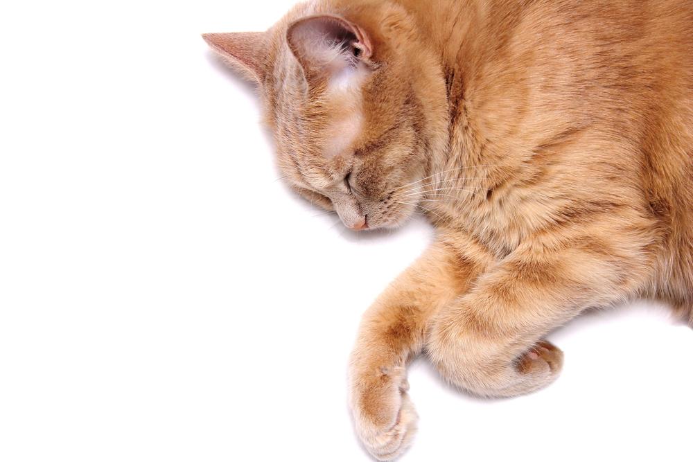 ¿Cómo sacrificar a un gato sin un veterinario?