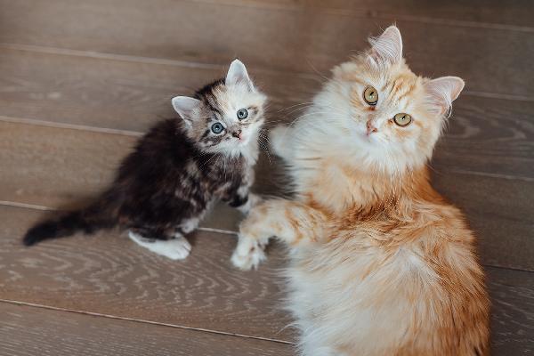 Gatito bebé y gato adulto de tamaños completamente diferentes.