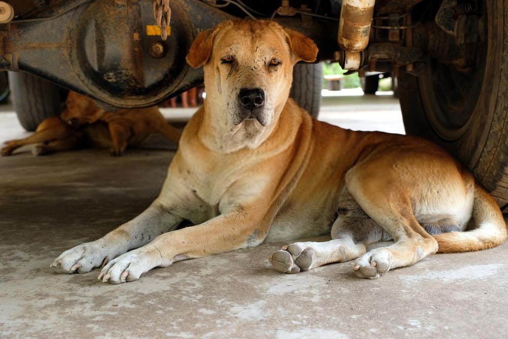 ¿Cuánto tiempo permanecen en celo los perros ?: No es tan difícil como crees