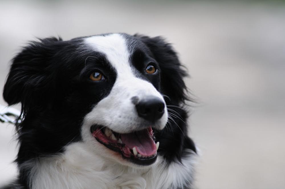 ¿Cuántos dientes tienen los perros?