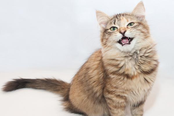 Gato con la boca abierta - trinando, maullando o haciendo otro sonido de gatito.