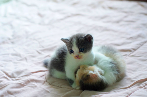 Gatitos jugando entre ellos (juego social)
