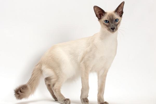 Un gato balinés.
