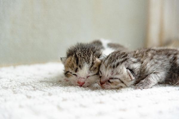 Dos gatitos grises con los ojos cerrados.