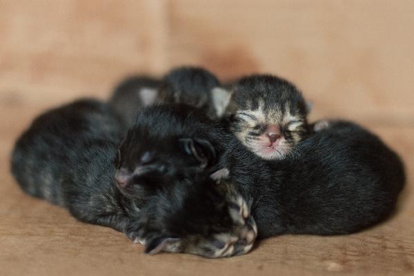 Un montón de gatitos atigrados recién nacidos.
