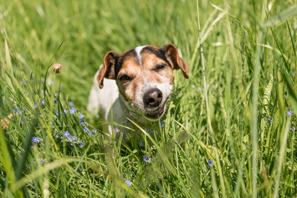 ¿Por qué los perros comen hierba?  Una guía detallada sobre hábitos caninos