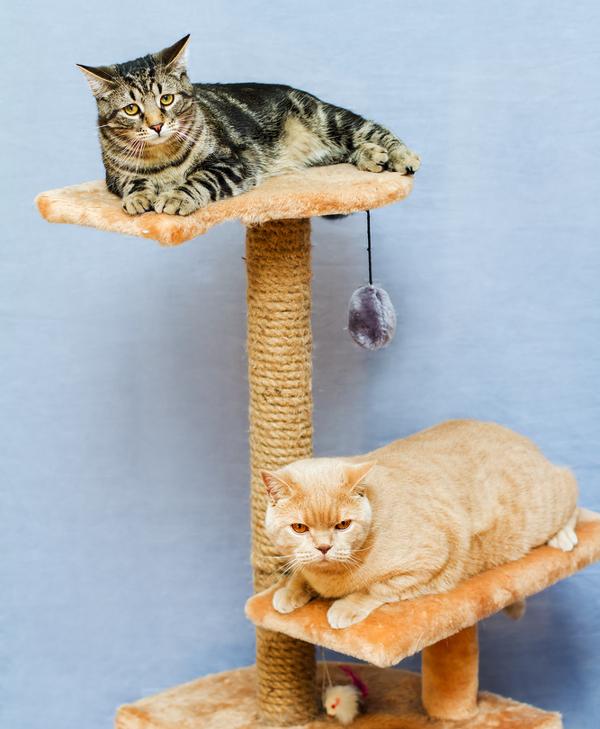 gato-verano-fresco-torre-árbol-157621712