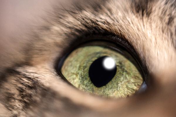 Tercer párpado de gato