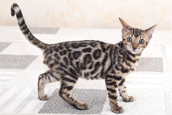 Un gato o un gatito de Bengala joven.