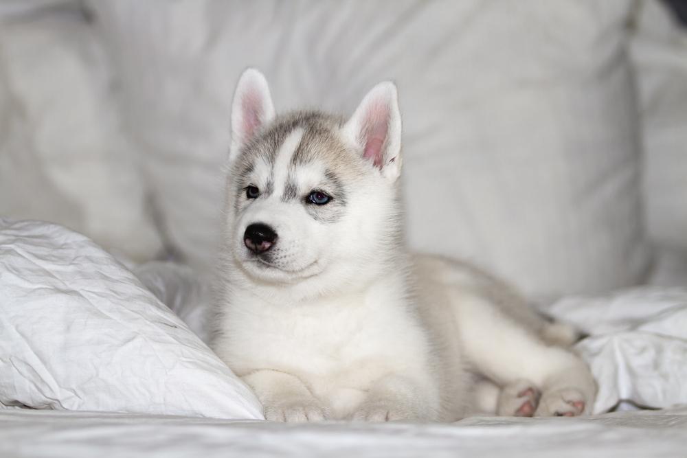 Cómo cuidar a un perro husky siberiano