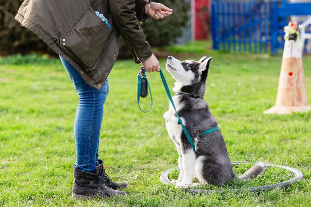 Cómo entrenar a un husky para ir al baño de manera efectiva