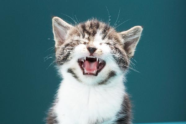 Un gatito llorando o haciendo sonidos con la boca abierta.