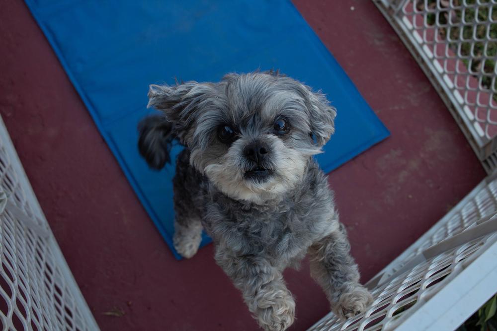 Información de la raza de perro Peekapoo