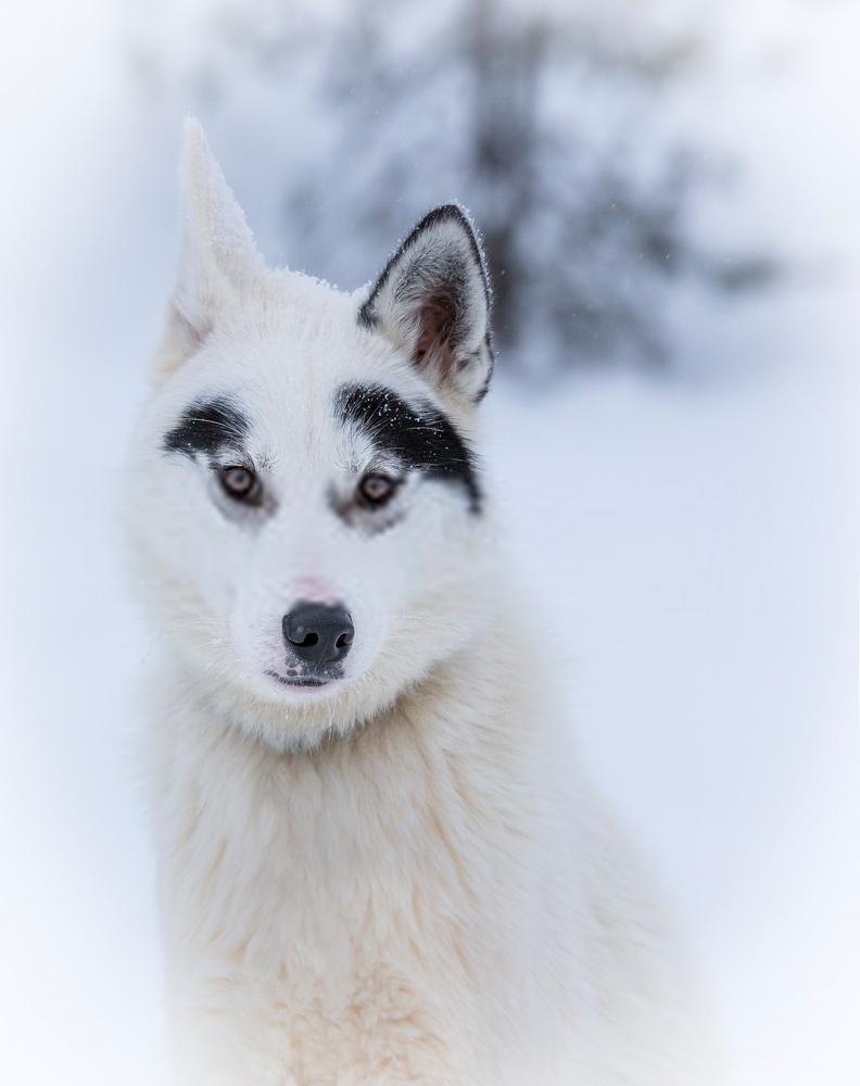 Husky blanco hembra