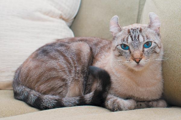 American Curl en un sofá.