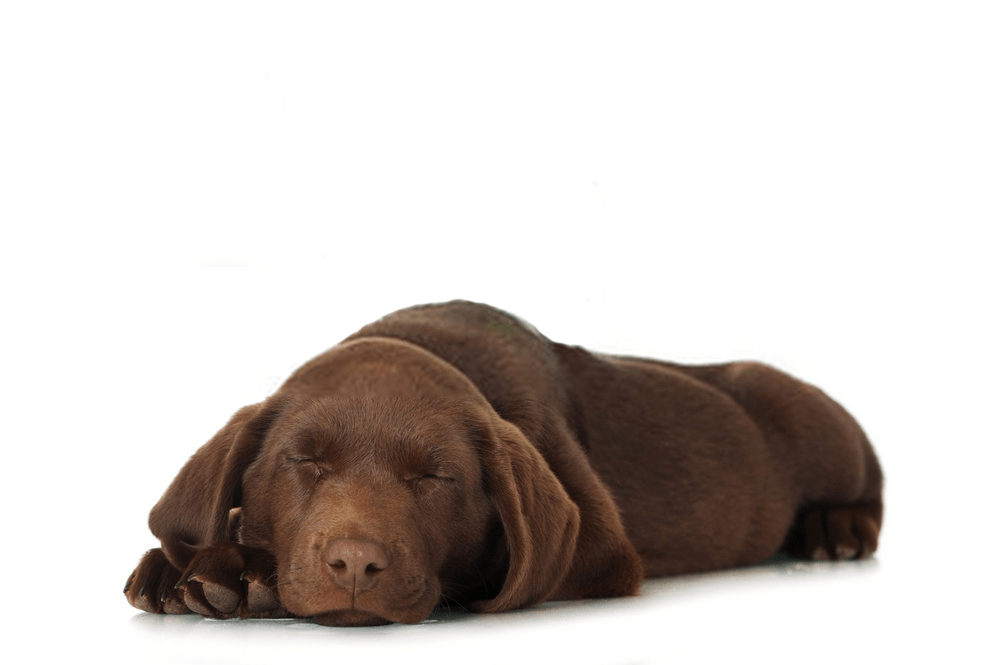 ¿Los perros saben cuándo están muriendo?