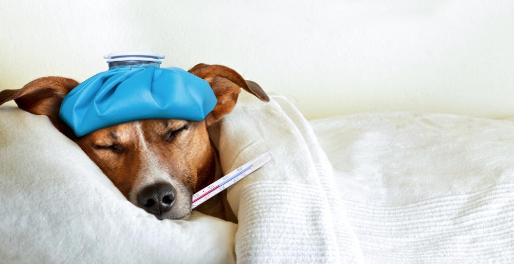 10 enfermedades peligrosas de los perros y su tratamiento