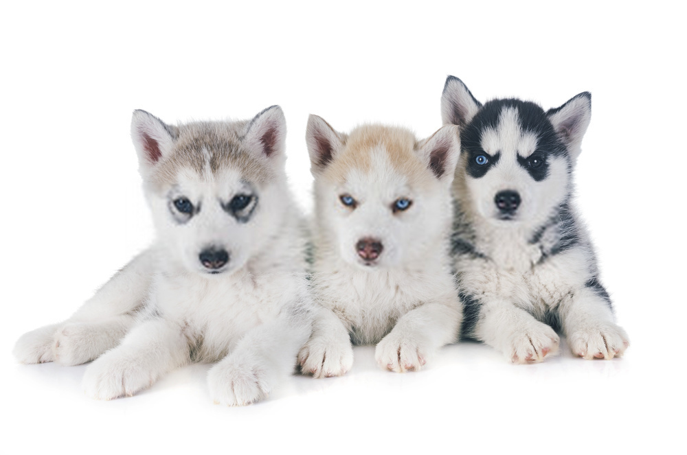 Información de cachorros de husky y guía detallada de perros de husky siberiano