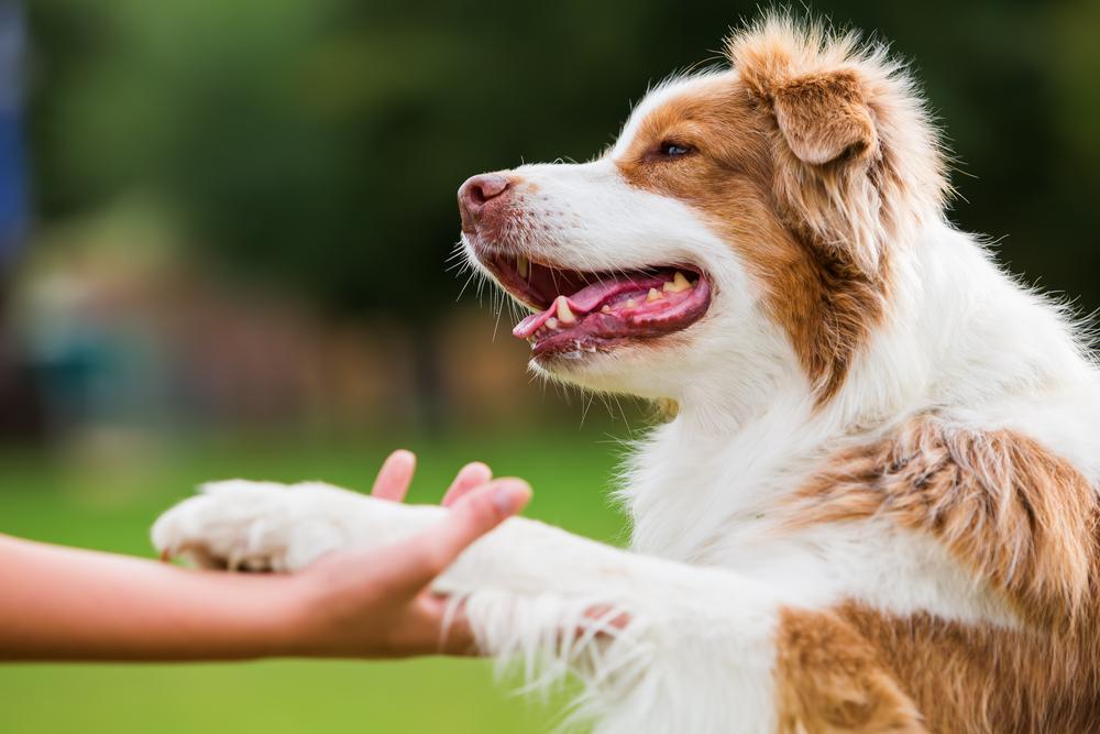 Enseñarle a un perro a dar la mano